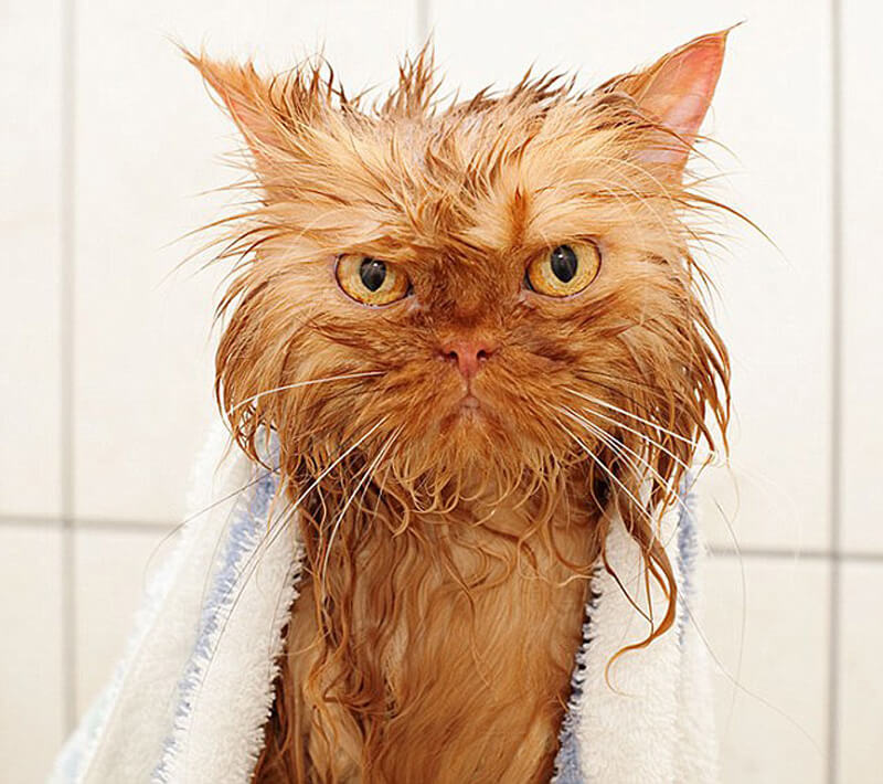 cat-bath-42946.jpg