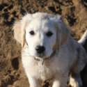 goldens-are-the-best-dogs-50494-125x125-62834.jpg