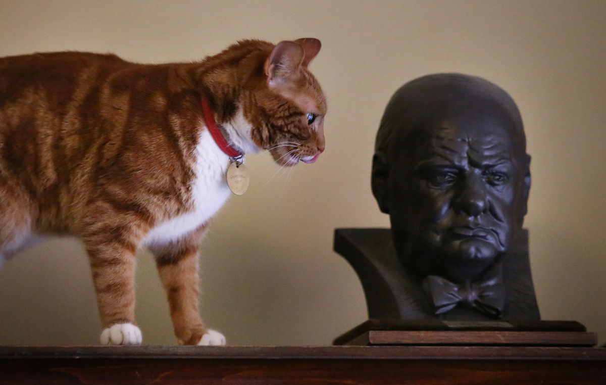 Jock VI, the current cat in residence, looks at a bust of Winston Churchill