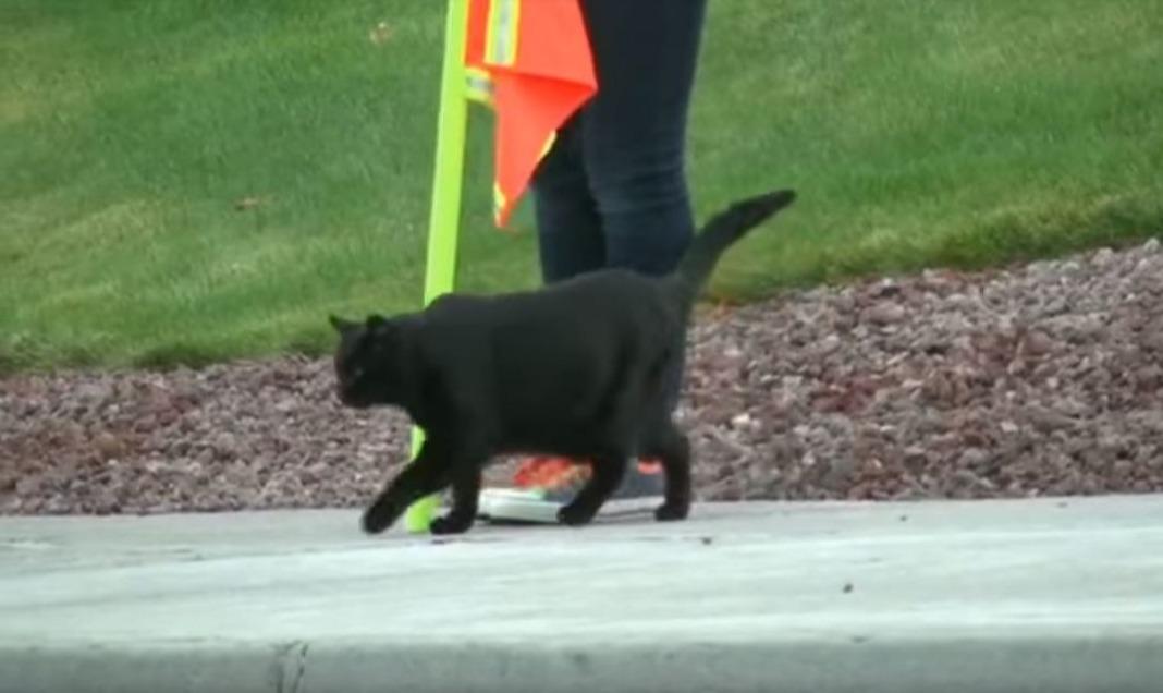 Sable crossing guard cat