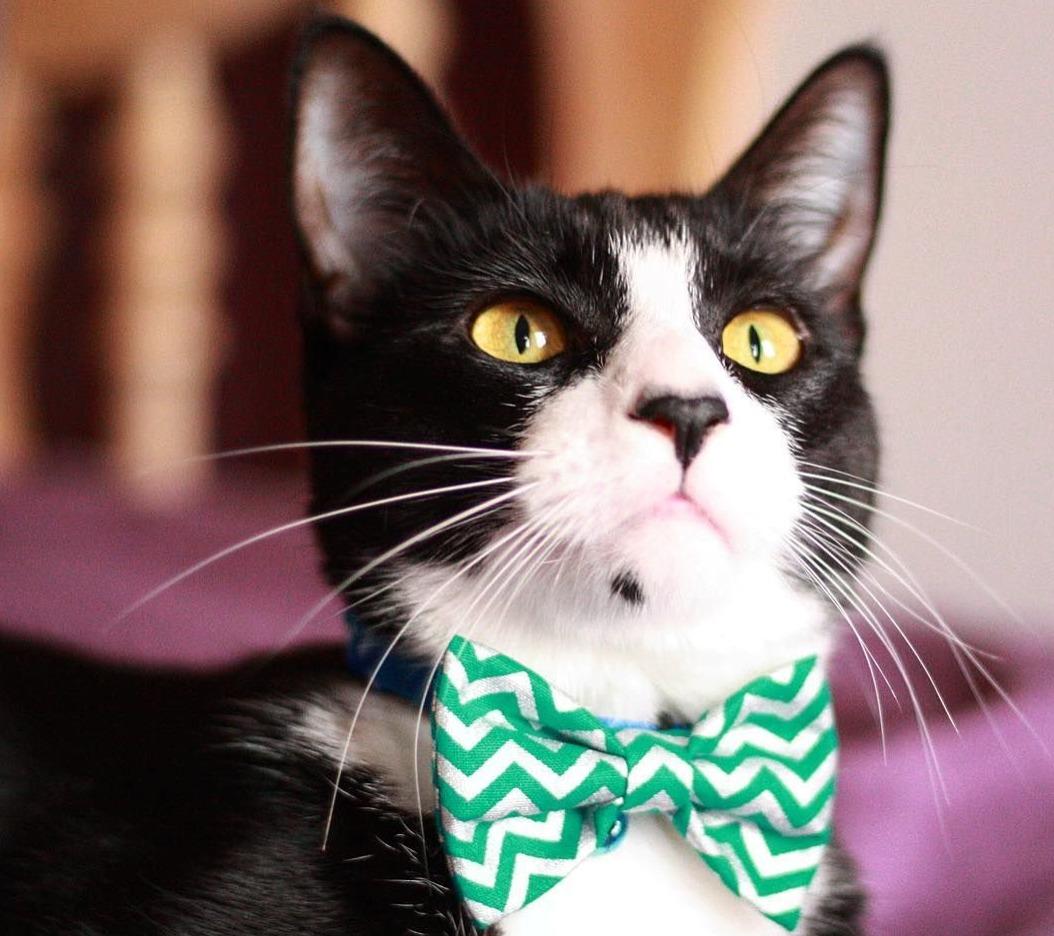 cat bowtie