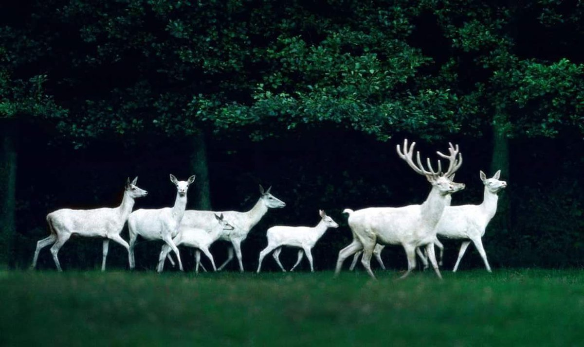 a beautiful herd of white deer