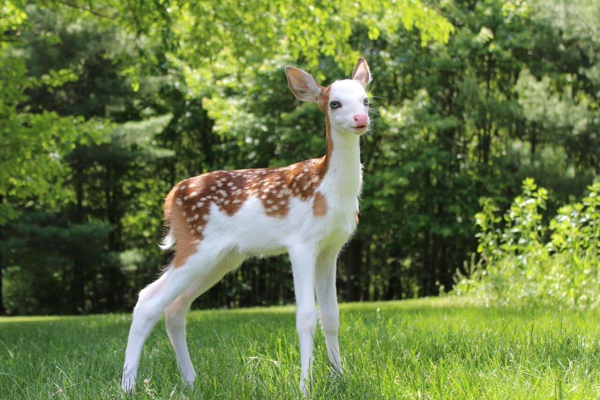 a piebald deer