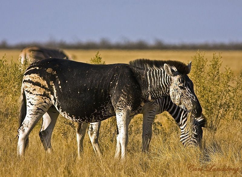 a zebra with melanism