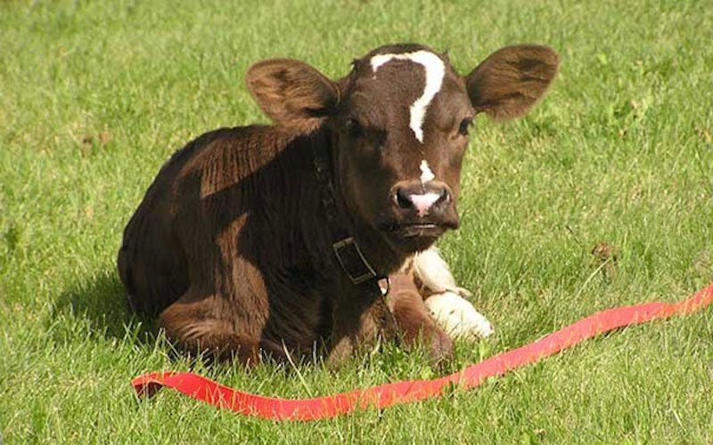 brown cow with a question mark on his head