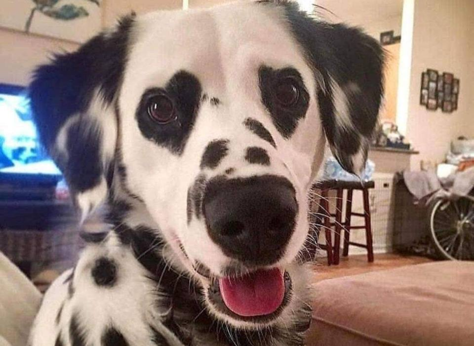 dalmation with black heart pattern over his eyes