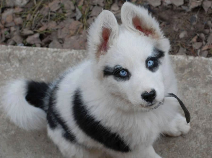 husky with black spots over her eye
