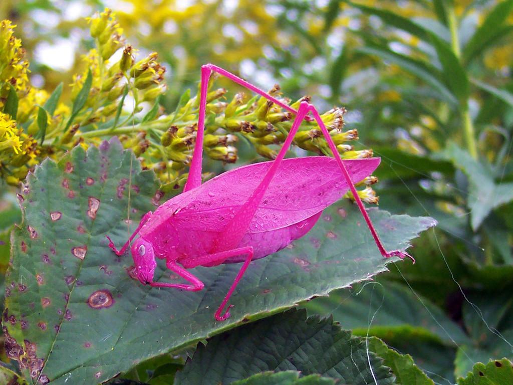 pink katydids have a rare genetic mutation