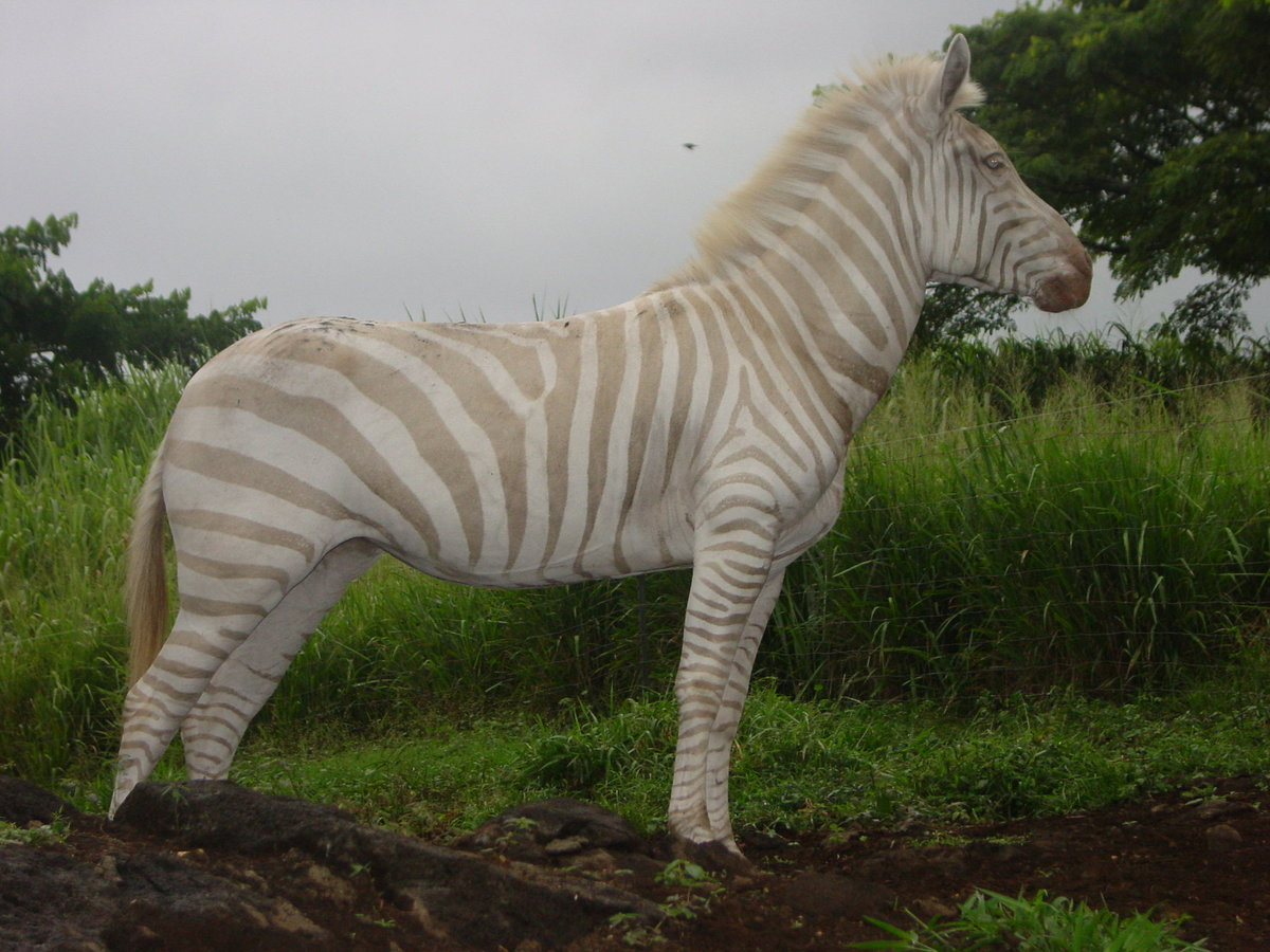 tan and white zebra
