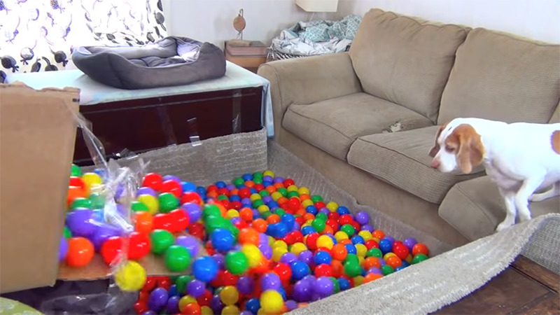 A dog watches as colorful playpin balls are dumped in front of him in the living room