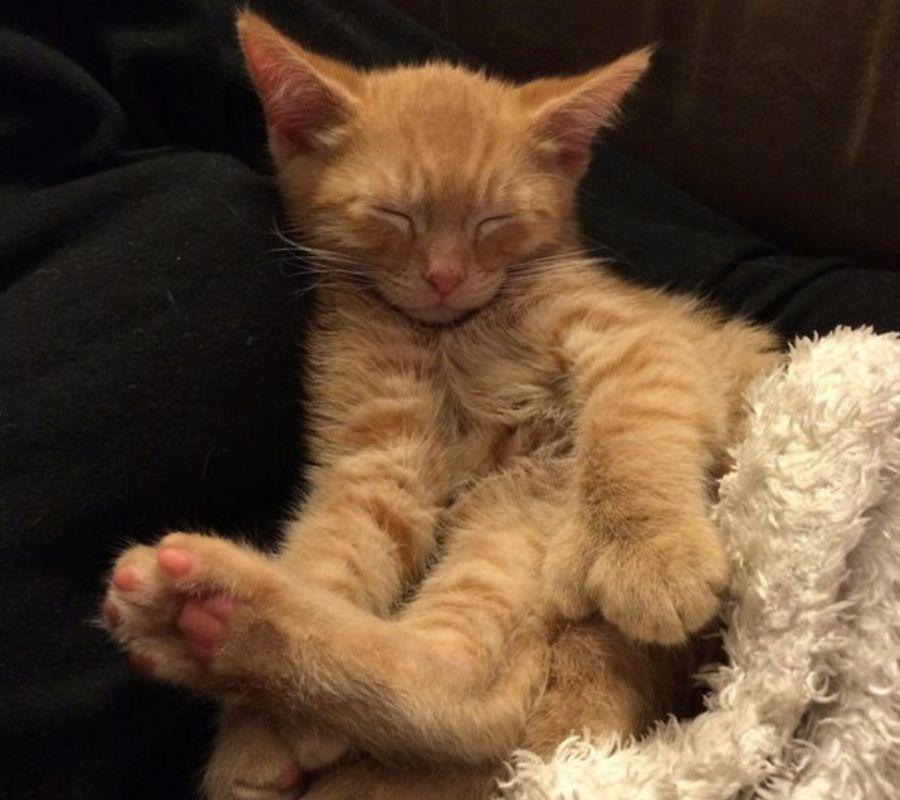 polydactyl tabby cat