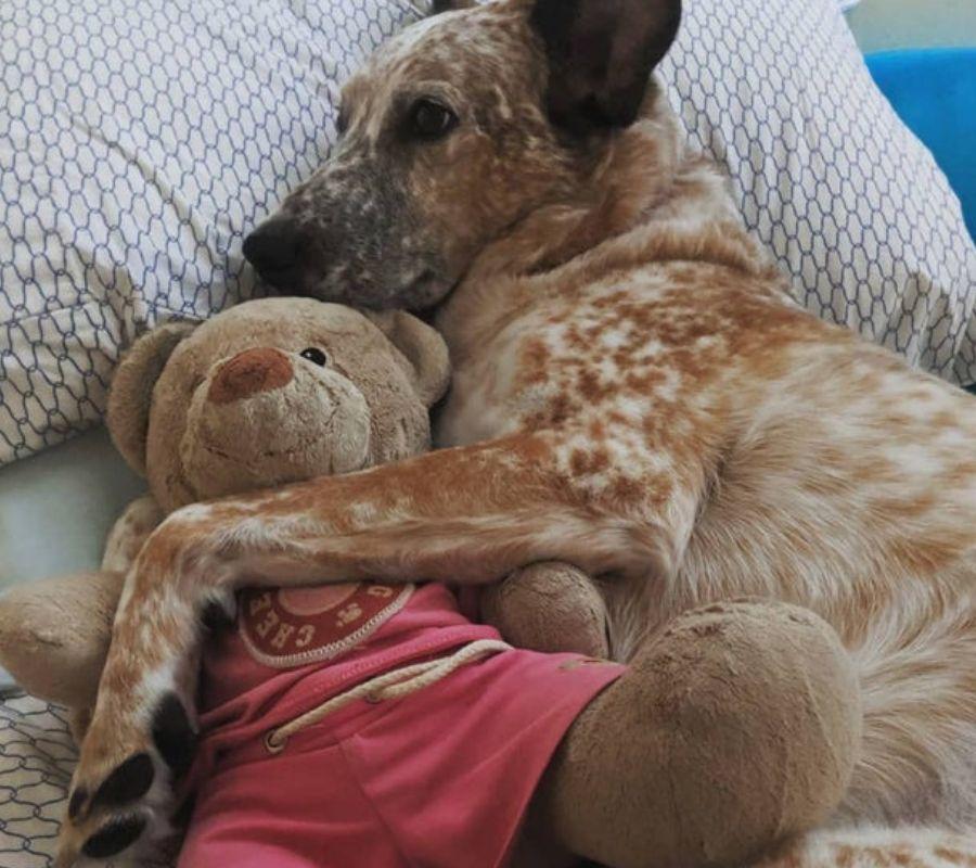 dog snuggling teddy bear