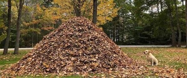 Dog vs. leaf pile: the ultimate showdown