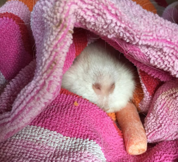 Guinea pig drags a carrot into his blankets