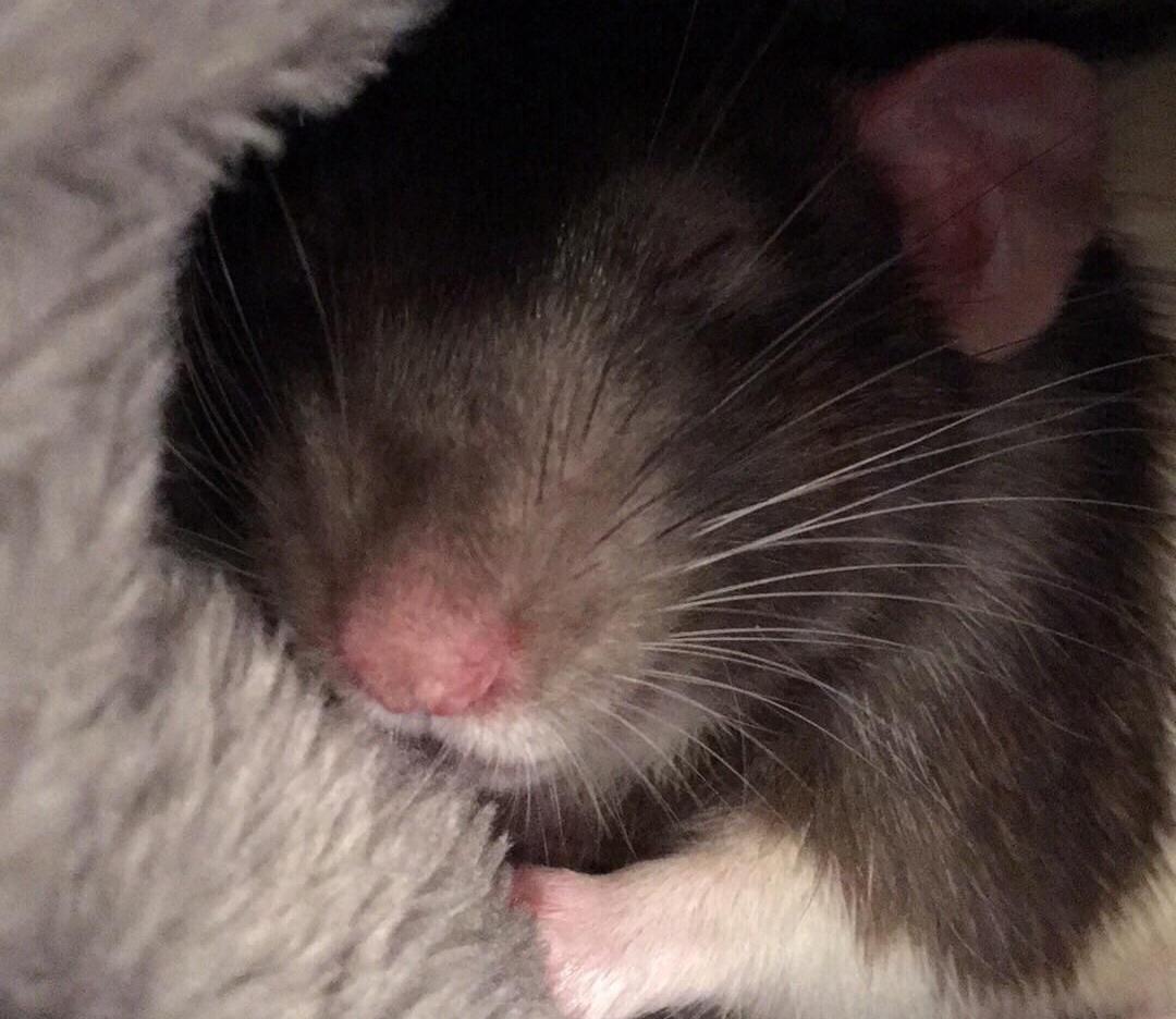 Rat asleep in blankets
