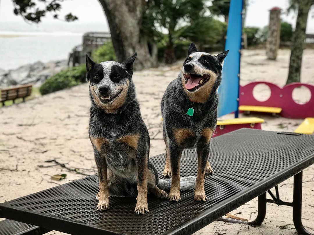 twin dogs on table