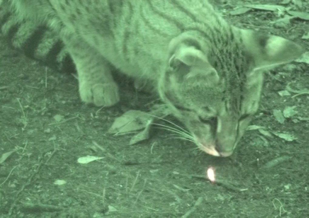 A big cat chases a laser pointer at night.