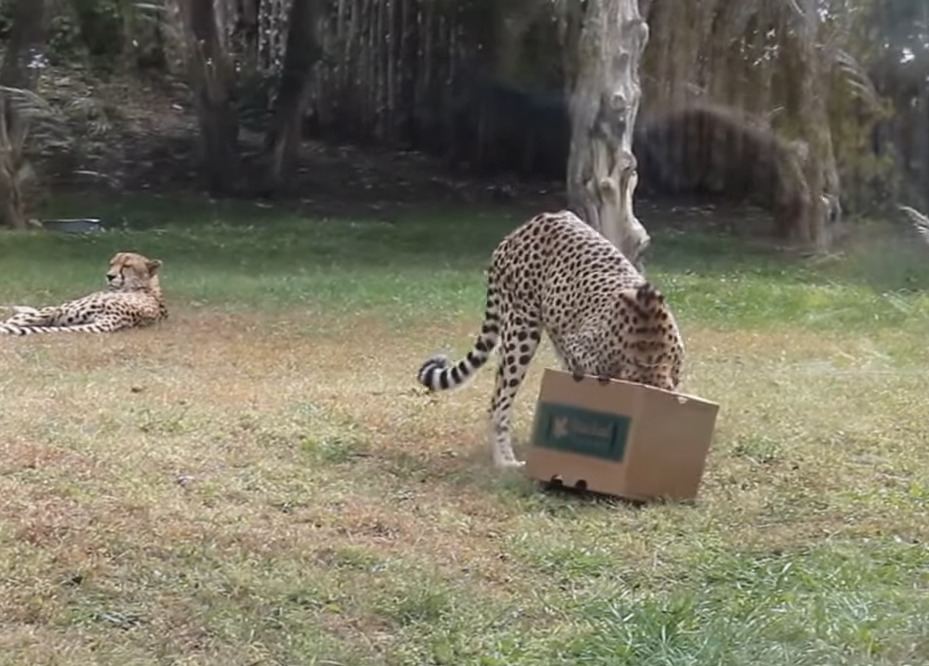 Cheetah gets his head stuck in a cardboard box.