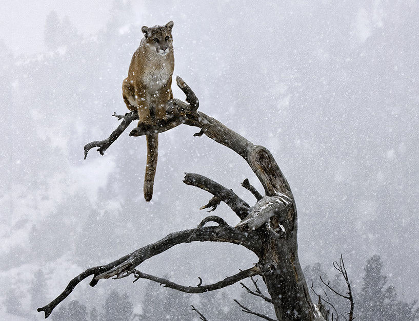 Mountain lion sits at the top of a tree overhanging a cliff.