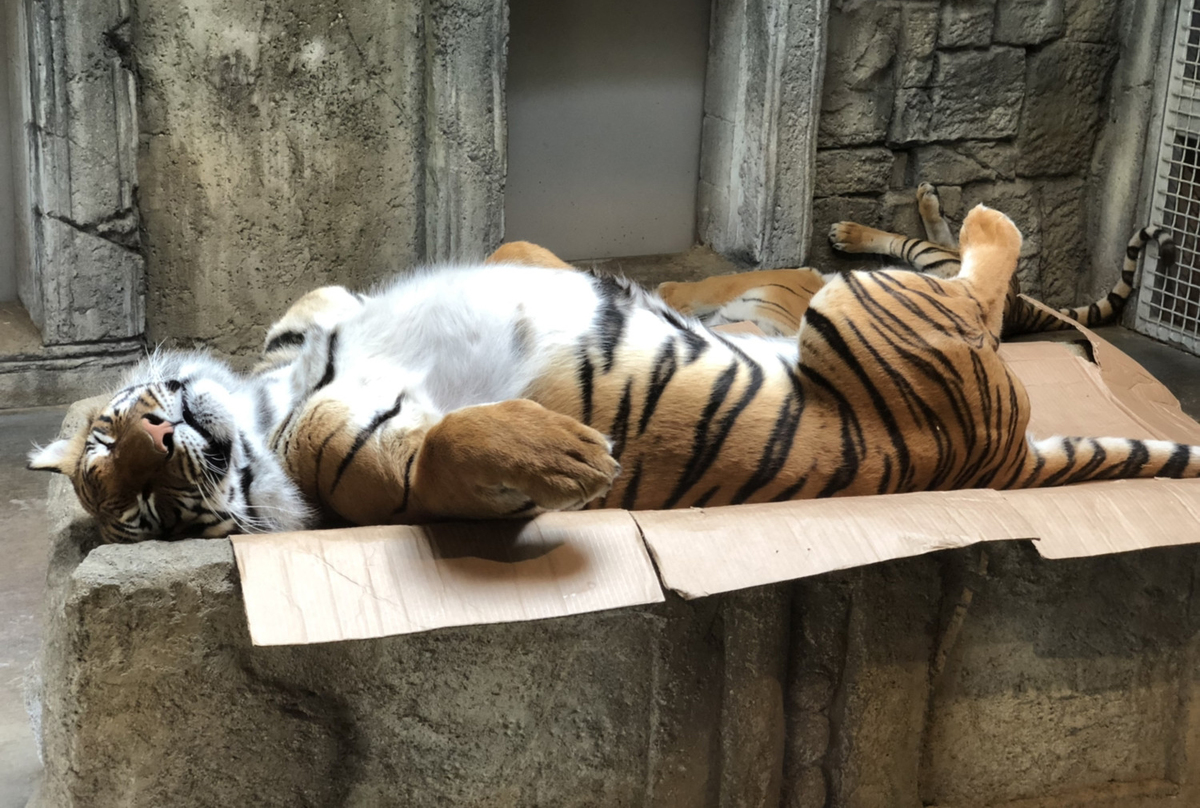 Tiger naps on a crushed cardboard box.
