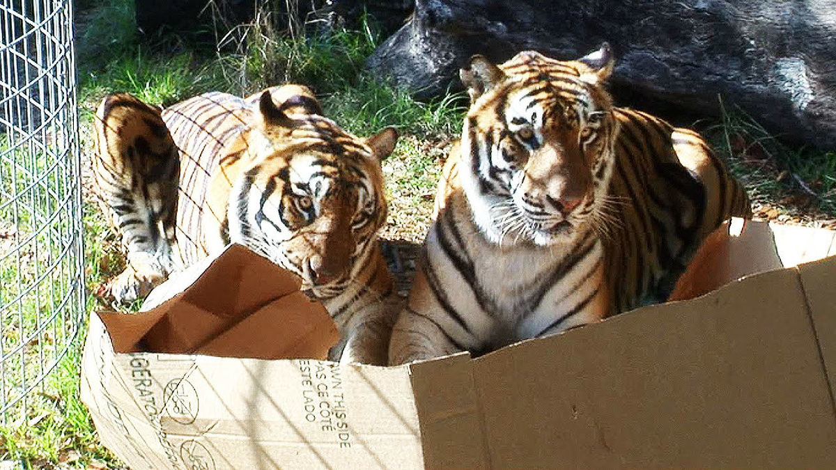 two tigers in a box