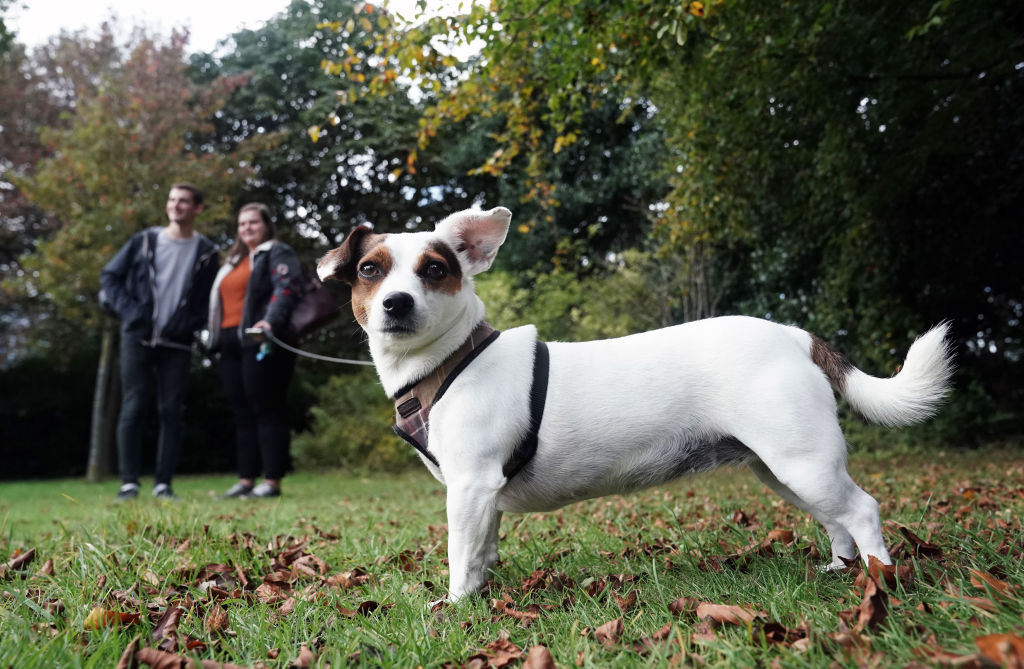 They Might Be Tiny But Jack Russel Terriers Are Quick