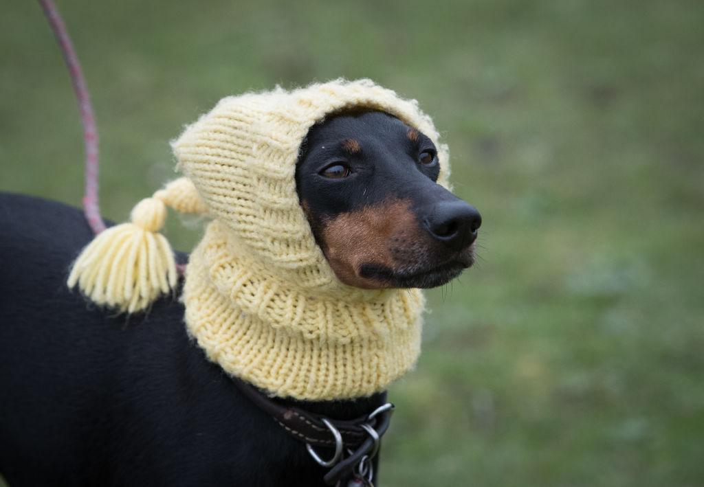 The Gentleman's Terrier, A.K.A The Manchester Terrier