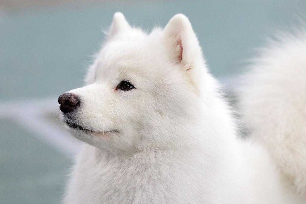 American Eskimo Dogs Come In Three Sizes