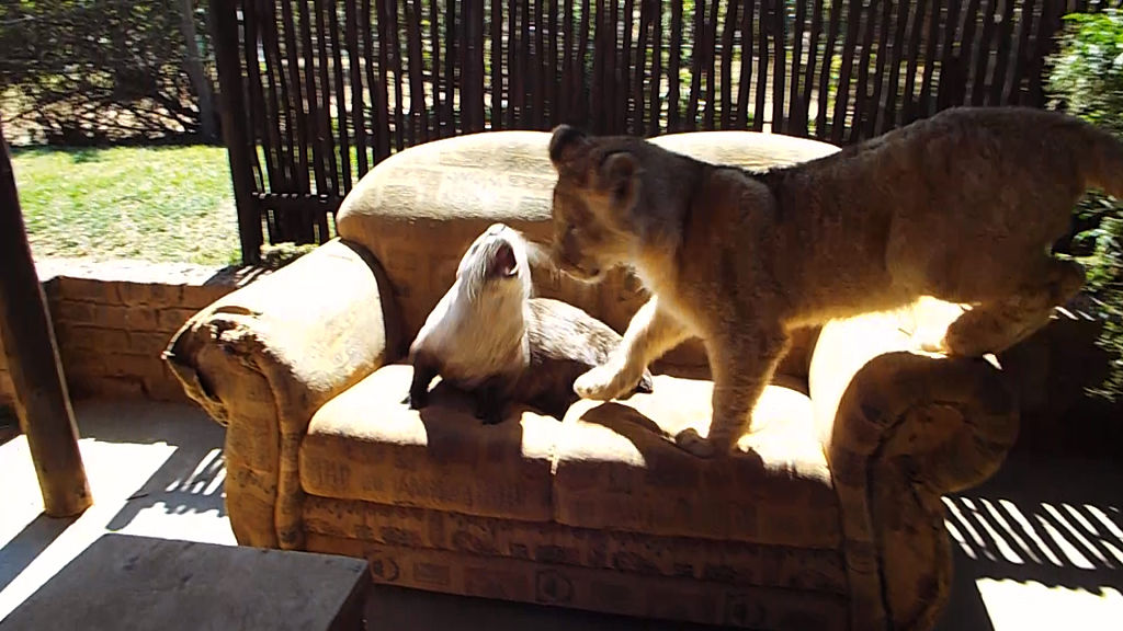 Kumari and Moses the otter play with each other on the sofa