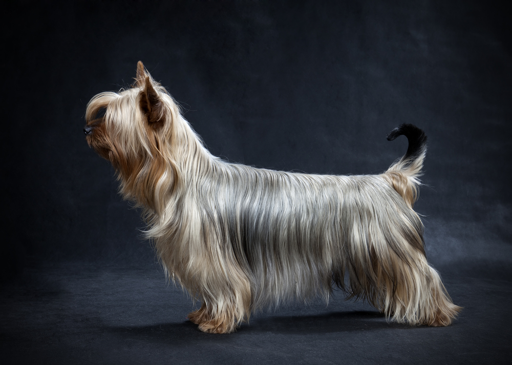 This High Energy Terrier Is Native To The Land Down Under