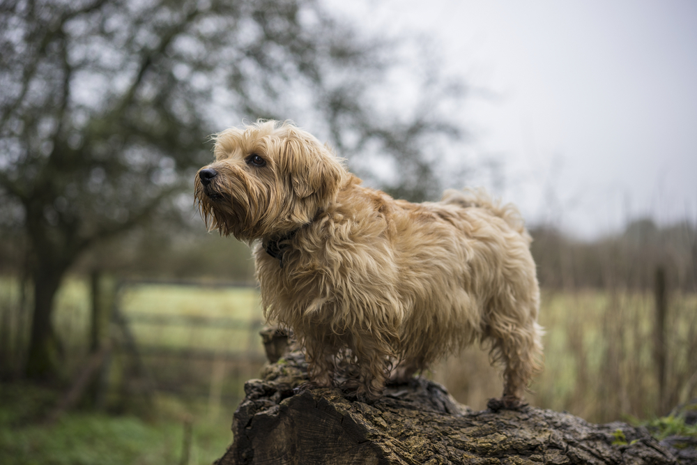 The Best Travel Buddy Is A Norfolk Terrier