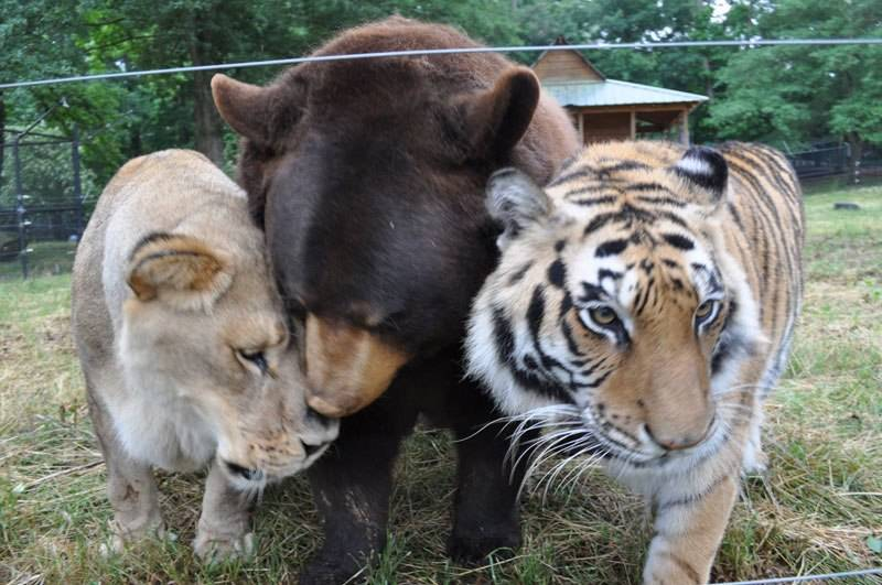bear-lion-tiger